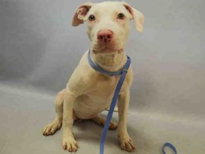 Brooklyn Center DHODI – A1093888 FEMALE, WHITE, AM PIT BULL TER MIX, 4 mos STRAY – STRAY WAIT, NO HOLD Reason STRAY Intake condition EXAM REQ Intake Date 10/18/2016, From NY 11104, DueOut Date 10/21/2016,