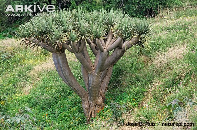 Dragon tree videos, photos and facts - Dracaena draco | ARKive