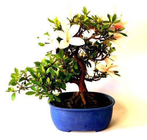 Azalea bonsai #bonsai