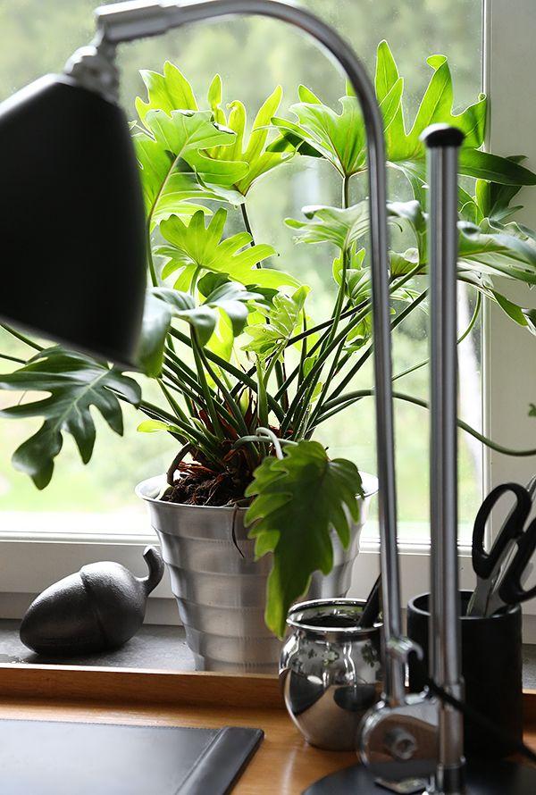 Jag blir alltid lika glad när jag lyckas hitta växtsorter som trivs i mina svarta fingrars ägo. Den här skönheten står på fönsterbänken i mitt arbetsrum hemma och har sträckt ut sig ordentligt över…