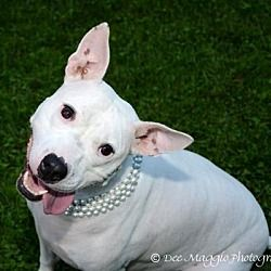 5/22/18 MI Harley is a female Bull Terrier for adoption in Livonia, MI who needs a loving home.