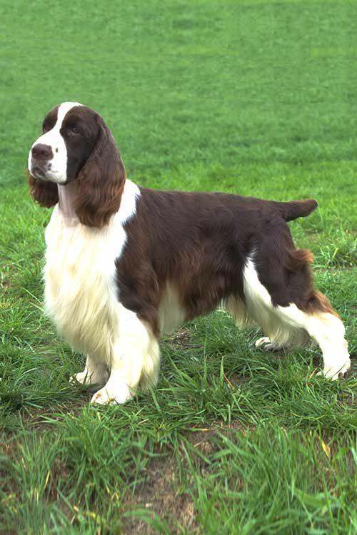 Image result for 犬 English Springer Spaniel 美しい