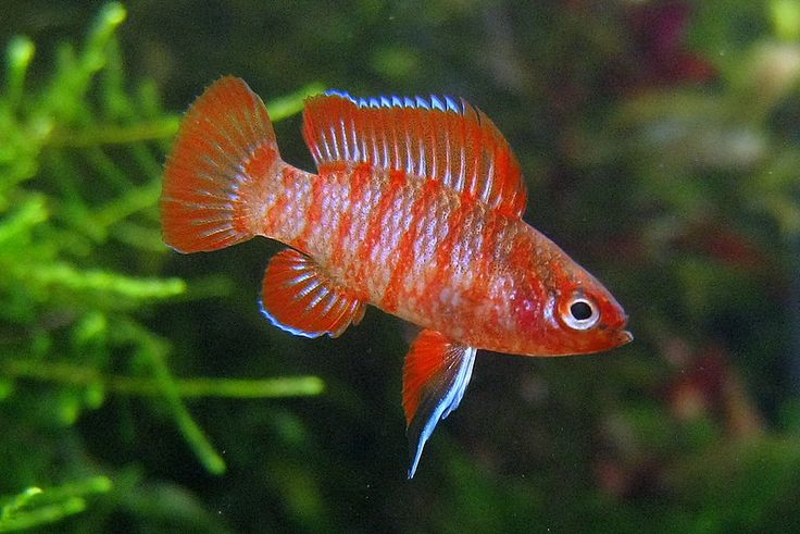 Scarlet badis males 0 8 inches females 0 5 inches for Small tropical fish