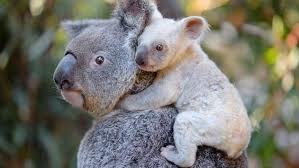 Resultado de imagen para marsupiales australianos nombres