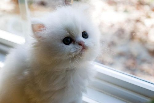 cute white persian kitten cat pic