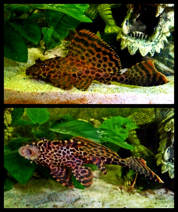 25 best images about pleco 39 s on pinterest south america for Pleco fish food
