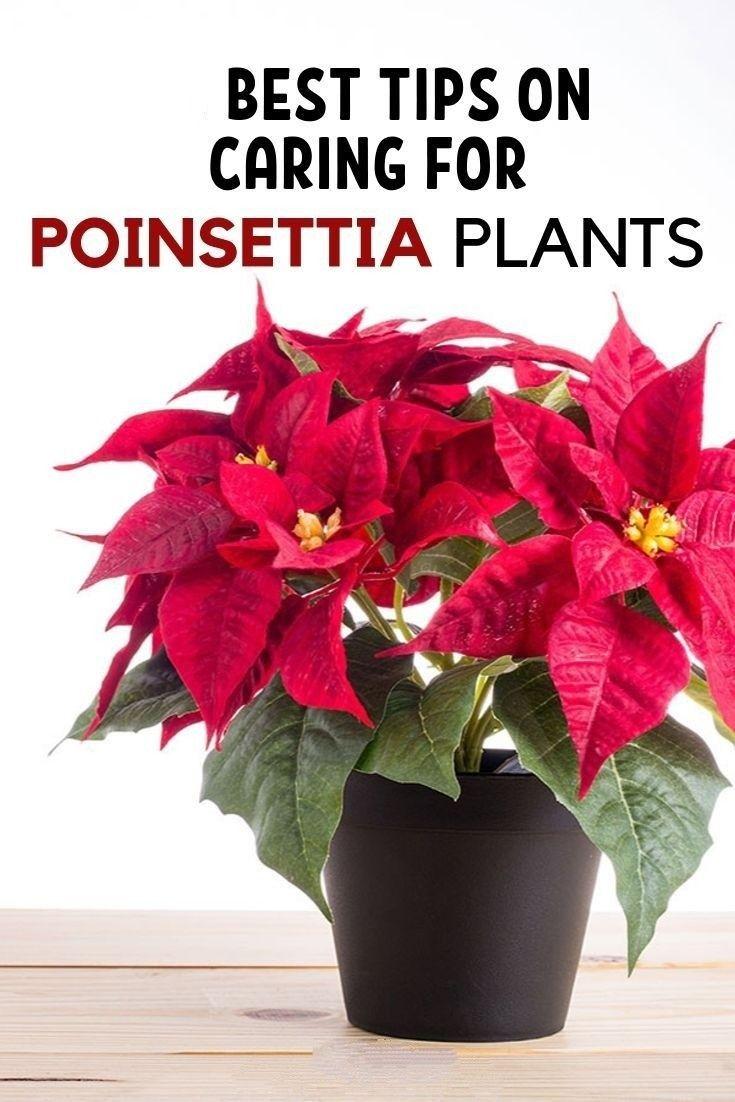 How To Care For Poinsettia Plants Poinsettia Plant Christmas Plants Poinsettia Care