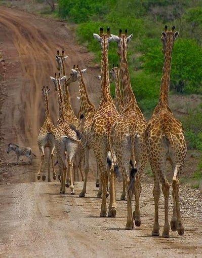 La fila india de las girafas