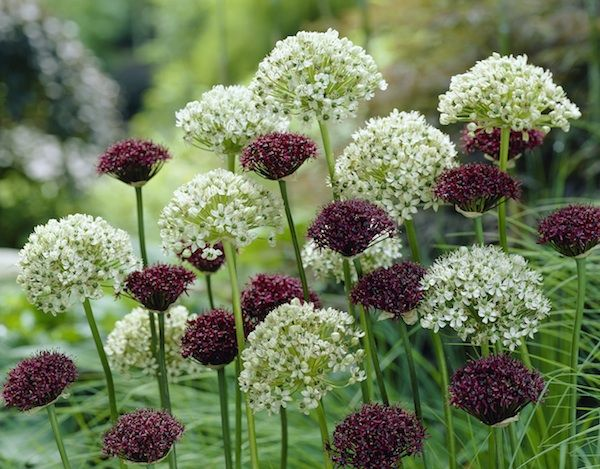 Allium atropurpureum (deep purple), Allium nigrum (white) make a nice pairing. Plant spring blooming bulbs now for a great spring show.