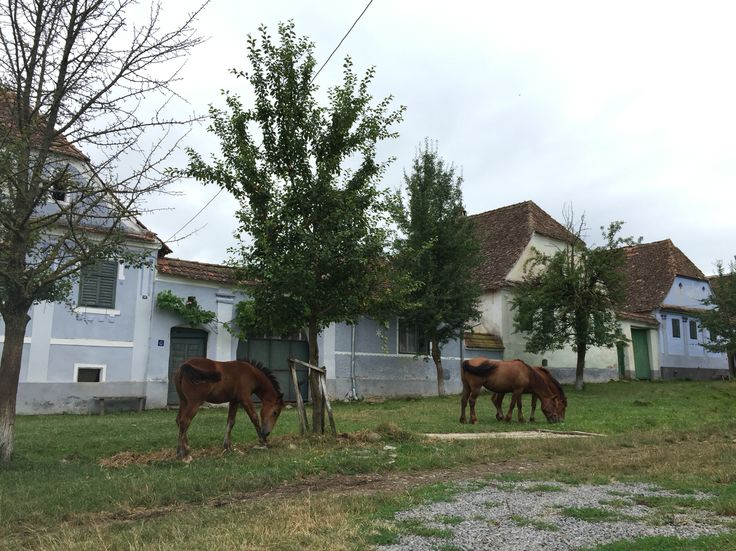 Horses in Viscri