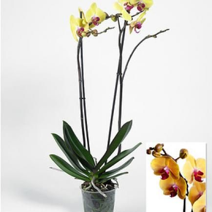 "Phalaenopsis Orchidee, 2 Triebe, ""Gelb"",1 Pflanze"