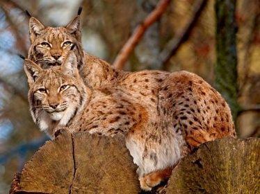 040 zvířata - rysí rodinka