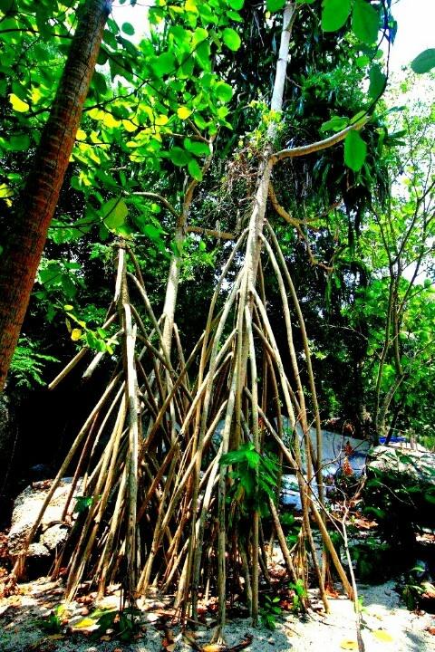 Tree in Tanjung Kepayang