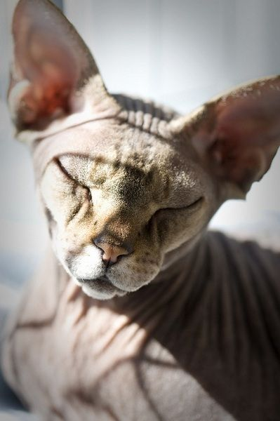 53 Curated Sphynx Ideas By Tantonian I Love Cats Maine