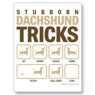 stubborn dachshund tricks