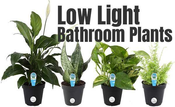 Pin On Bathroom Plants