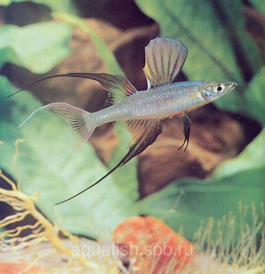 http://aquafish.spb.ru/arows/iriatherina-werneri
