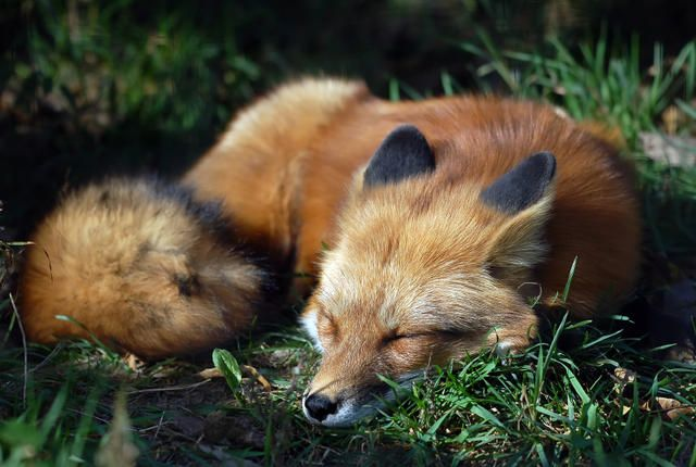 Fascinating Fox Facts (Except I don't like number 2... foxes are actually canids not felines)