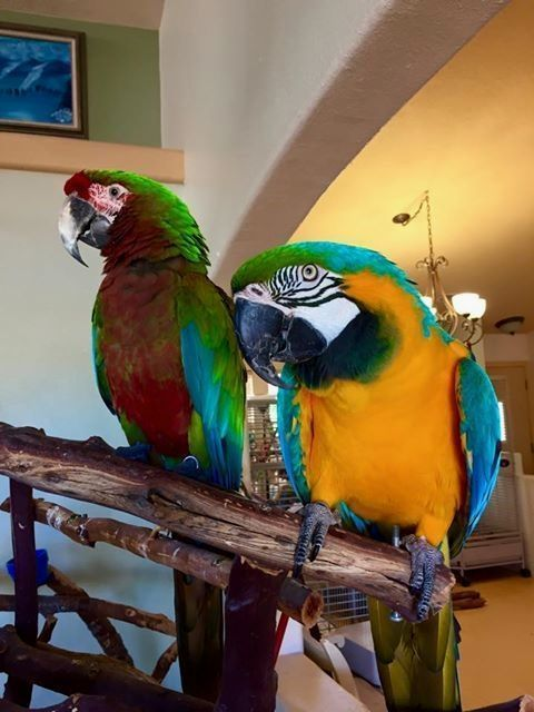 A warm welcome to these two lovely macaws who winged their way to us from out of state with the hope of finding a special and loving home. A special thanks to Soft Landings Parrot Rescue, Inc. for rescuing these feathered kids and bringing them all this way! Please read on - http://www.macaw-facts.com/behavior/10-tips-train-pet-parrot/ #parrot #pet #bird #macaw #love #color #macawfcats #parrotpet #parrottips