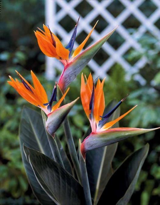 Les 25 meilleures id es de la cat gorie oiseau du paradis sur pinterest espece d oiseau - Plante oiseau de paradis ...