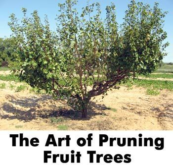 The Art of Pruning Fruit Trees. I so totally need this for the apple tree in the backyard!!! I think I will also use a peach pit from the PA peaches my aunt gave me and see if I can't get a peach tree to yield in a few years!!! Great tips on ALL of the fruits pretty much!!!
