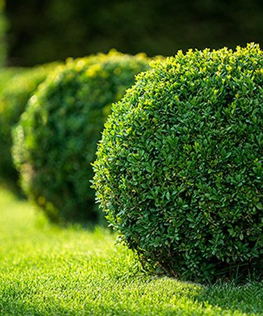 Look what I found on #zulily! Live Japanese Boxwood by Perfect Plants #zulilyfinds