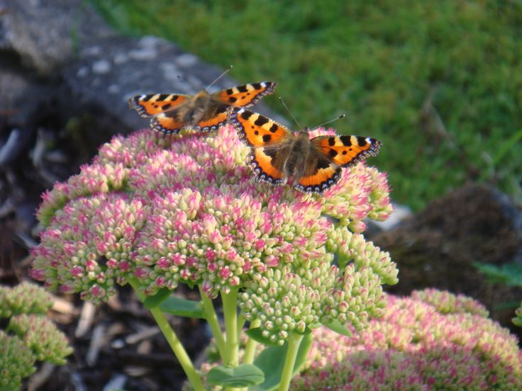 A couple of Tortoiseshell butterflies.  Picture taken by Abbey Kaos.