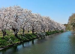 Fukuokazeki, Sakura, Park, Rzeka, Kwitnące, Wiśnie, Spacerowicze