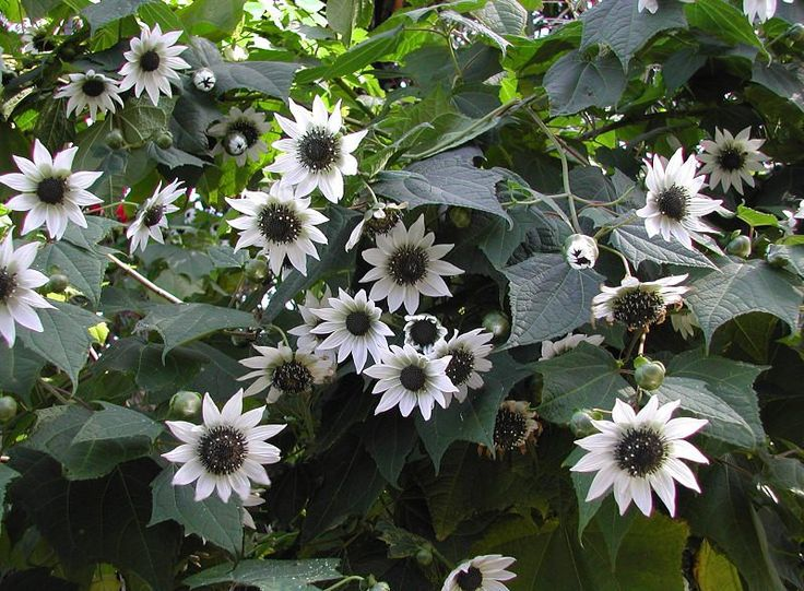 Italian White Sunflower Seeds - Makes Great ,Arrangements,Cut Flowers,Very Ornamental And Attracts bees and butterflies the garden,Organic !