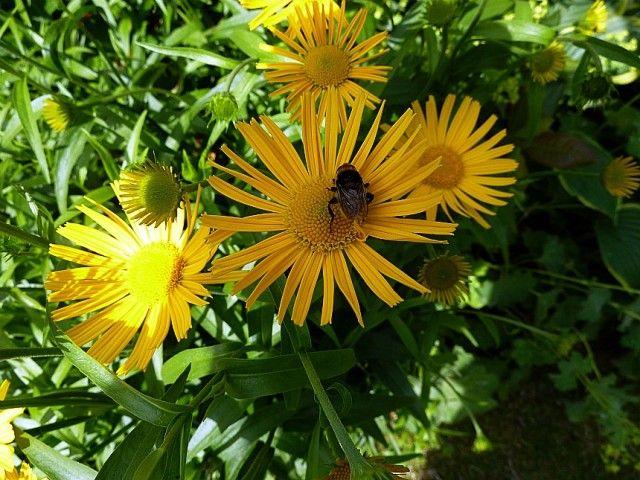 Buphthalmum salicifolium 03
