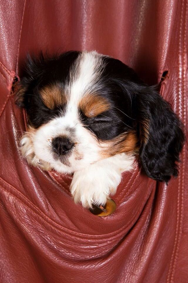 It's so cute!!! King spaniel, Dogs and puppies, Cavalier
