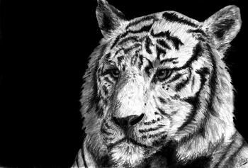 How to Draw a White Tiger, Draw a Tiger in Pencil, Step by Step, safari animals, Animals, FREE Online Drawing Tutorial, Added by DuskEyes969, July 28, 2012, 10:24:05 am
