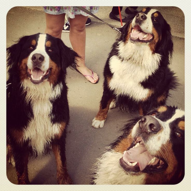 bernese mountain dog brothers
