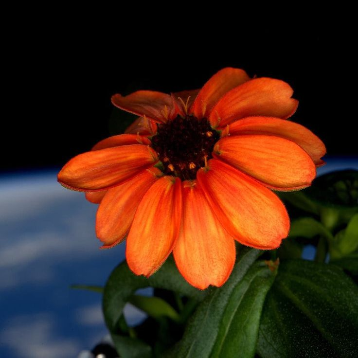 "Todays the day! NASA Astronaut Scott Kelly (@StationCDRKelly) returns from a #YearInSpace. Lets #countdown his best pics. #3 Close-up view of Zinnia grown as part of Veggie experiment floating in front of the Cupola window. Astronaut Scott Kelly posted this photo on Twitter with the caption ""#SpaceFlower out in the sun for the first time! #YearInSpace""  Twice the duration of a typical mission Kellys station-record 340 days in space afforded researchers a rare opportunity to study the medical…"