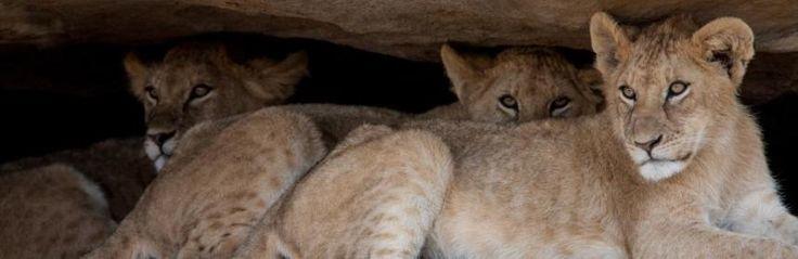 #Puppies #Tanzania  #lions #Africa #nature #wildlife www.safaricrewtanzania.com/category/safari/safari-parchi-nord-in-piccoli-gruppi/ #viaggi #safari #bucketlist