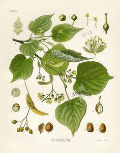 Botanical Drawings | Kohler Botanical Prints 1898