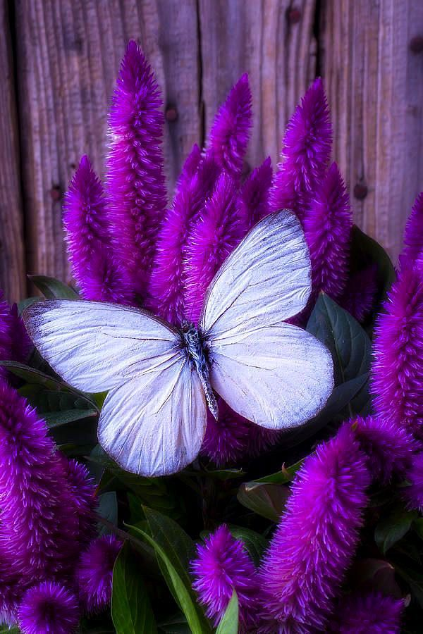 White%20Butterfly