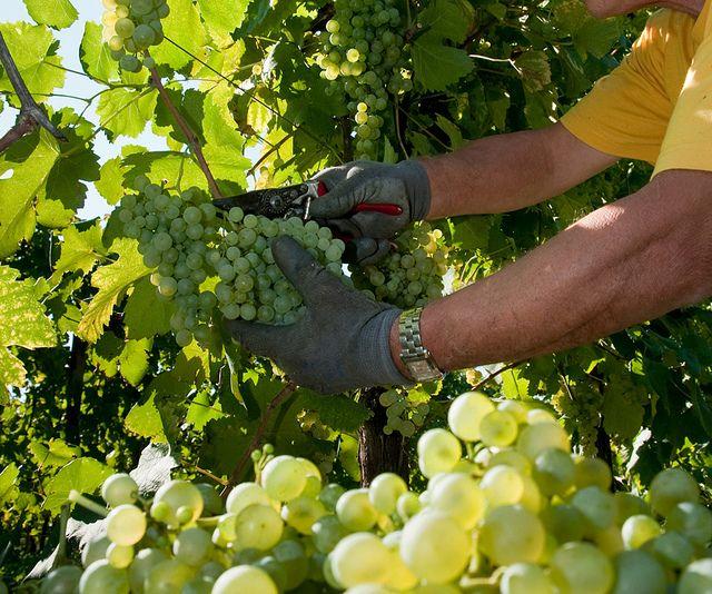 harvesting grapes in Colbertaldo - via Flickr