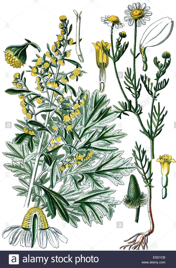 Download this stock image: left: absinthium, absinthe wormwood, wormwood, common wormwood, green ginger or grand wormwood, Artemisia absinthium. right: Ger - E5D1CB from Alamy's library of millions of high resolution stock photos, illustrations and vectors.