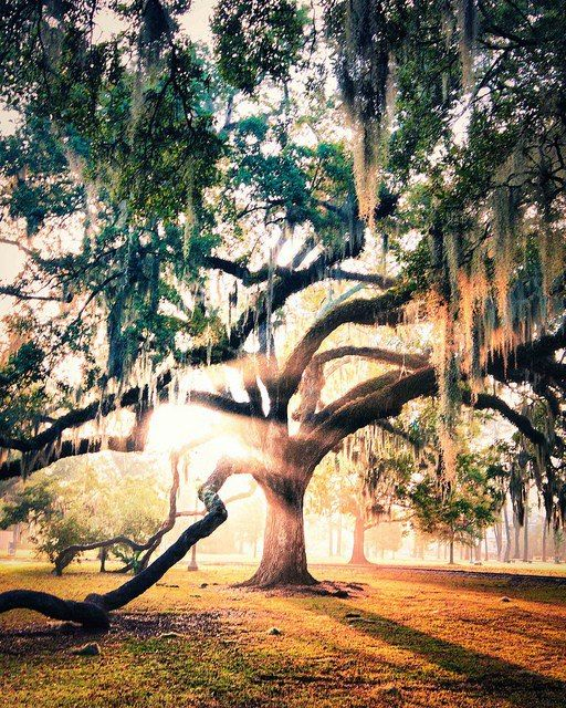 New Orleans. Beautiful tree with rays of sunlight.