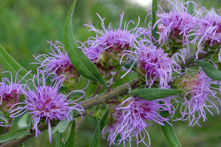 Liatris aspera (Asteraceae)