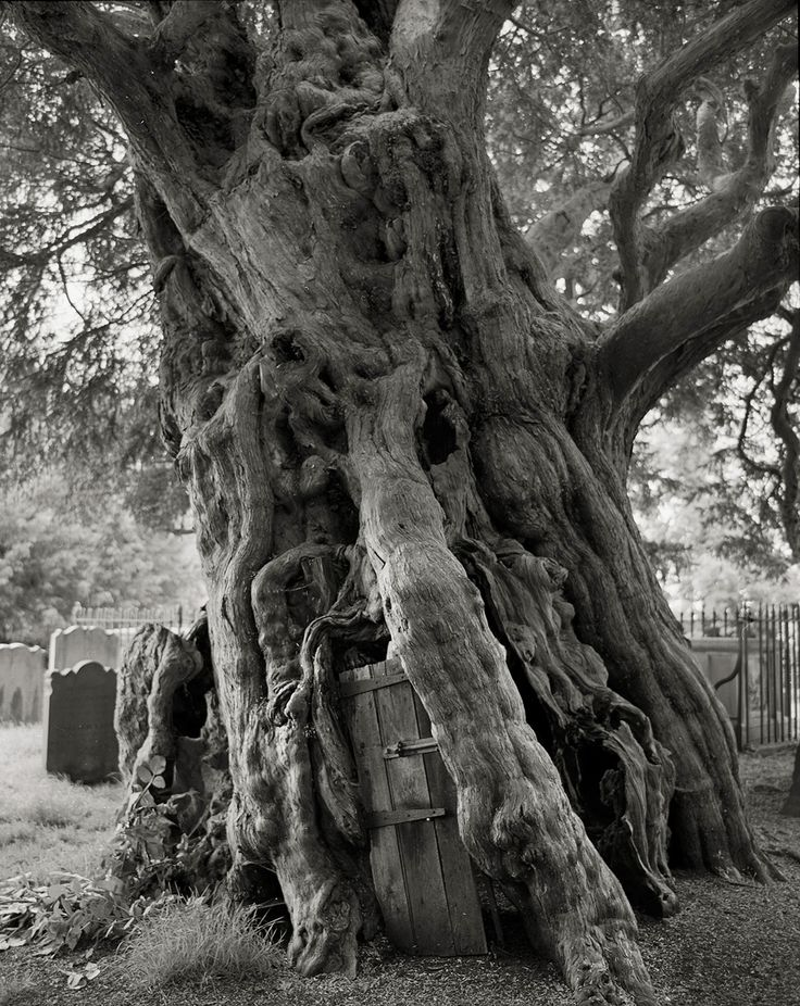 The Crowhurst Yew, Taxus baccata, in Surrey, England  Among the tombstones of a churchyard in Crowhurst stands an ancient yew with a girth of 31 feet. The tree is estimated to be more than 1,500 years old. When the villagers hollowed out the trunk in 1820, they found a cannonball embedded there, a relic of the English Civil War. The farm across from the church may have been the intended target because of its owner's staunch Royalist beliefs.