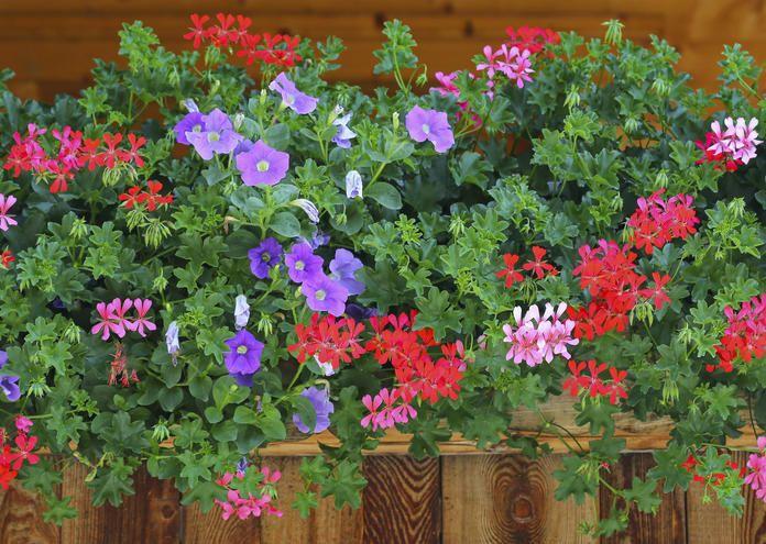 Die Beliebtesten Balkonpflanzen Unserer Facebook User Balkon
