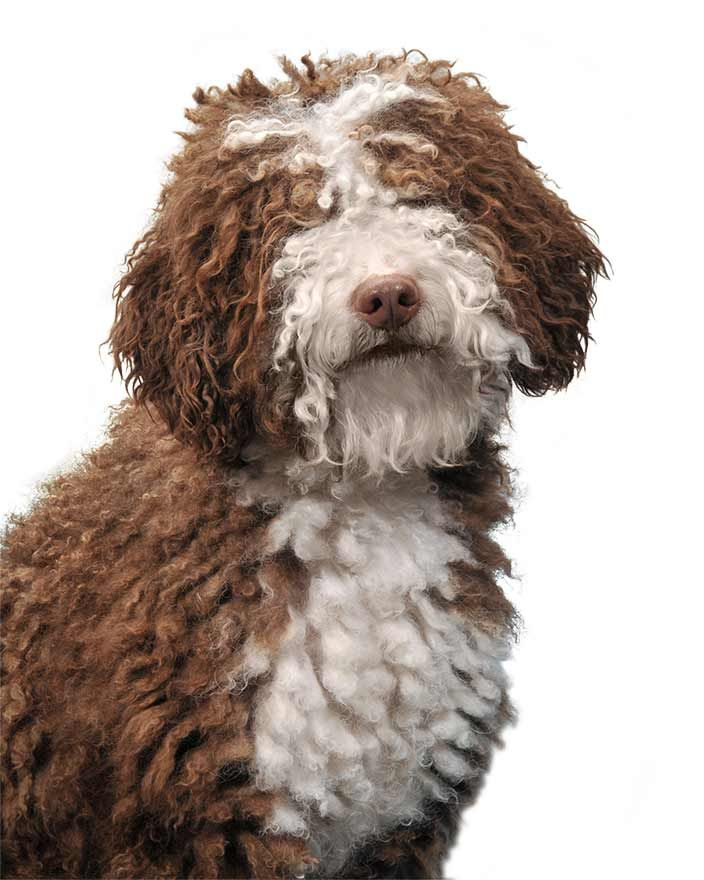 A Spanish Water Dog