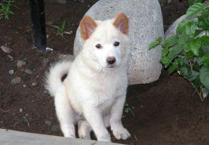 anjing ras Kintamani