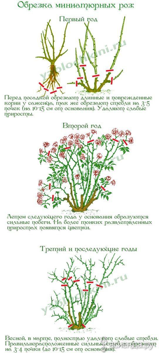 Обрезка роз. часть 4. Миниатюрные и полиантовые розы.: Группа Цветы и флористика