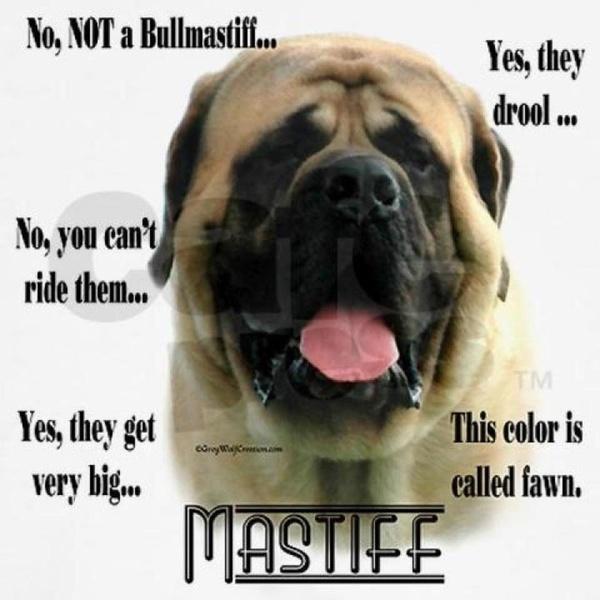 4497ece4f641c710ad896a99b4cfb2dc mastiff dogs english mastiffs 84 best english mastiff!❤ images on pinterest english bull
