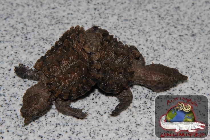 how to tell if your snapping turtle is sick