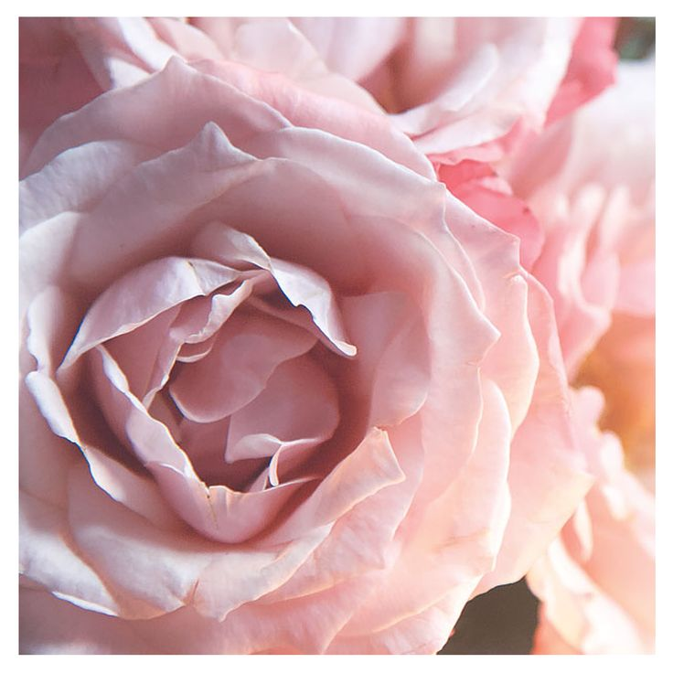 Not only are Roses beautiful to sight but they bring a world of benefits for nurturing and protecting our skin and is a key ingredient in KORA Organics products xxx #KORAOrganics #Rose #KORAOrganicsLifestyle