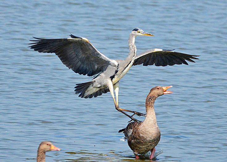 Blauwe Reiger sprinkt op Grauwe Gans  (Van vroegevogels)